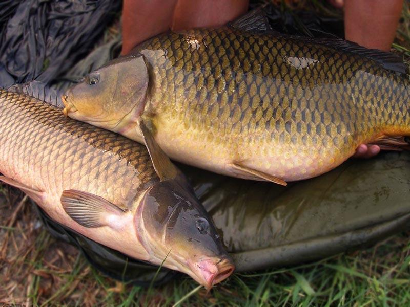 Carp – recipe ingredient