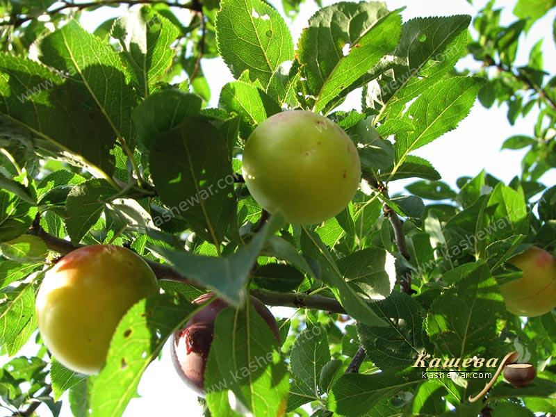 Cherry plum – recipe ingredient