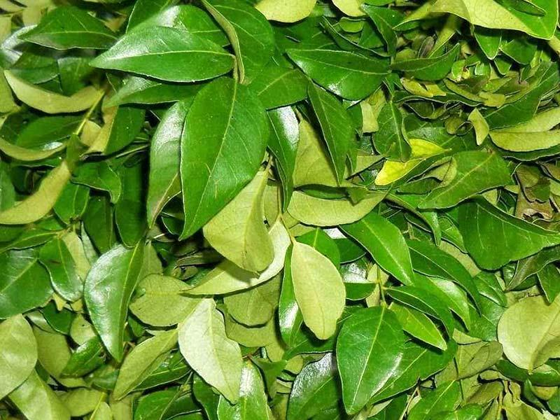 Curry leaves – spice, recipe ingredient