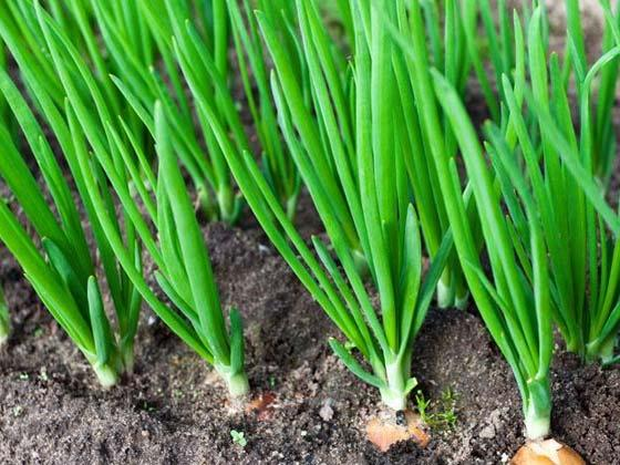 Green onions – recipe ingredient