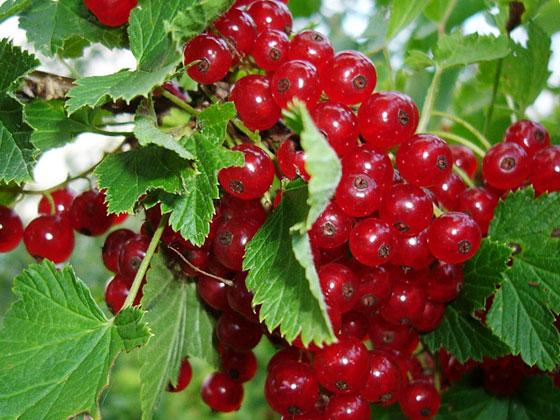 Redcurrant – recipe ingredient