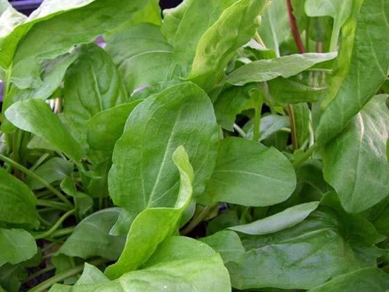 Sorrel – recipe ingredient